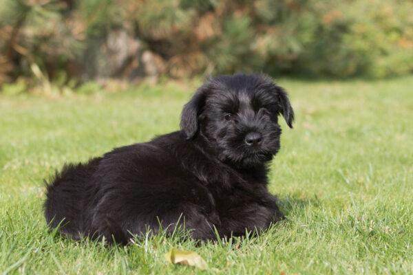 black-schnauzer-dog